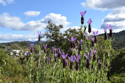 wild Lavender flowers with Finca Bravo in the background carousel
