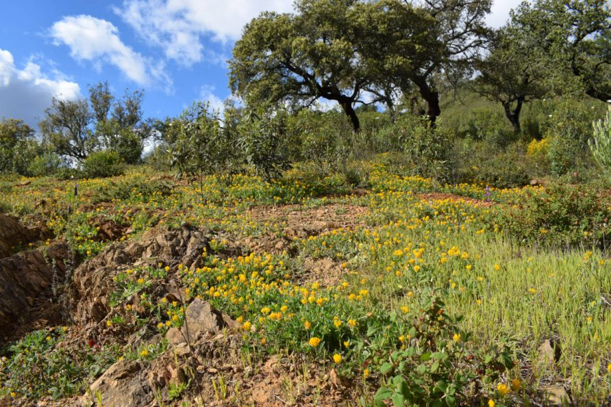 a carpet of yellow flowers at Finca Bravo